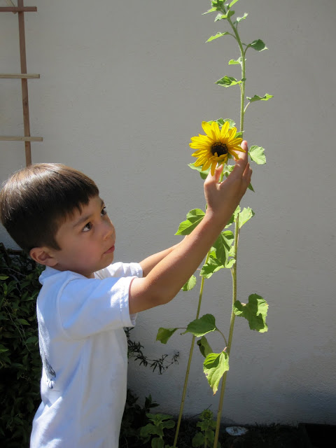 Touch a sunflower