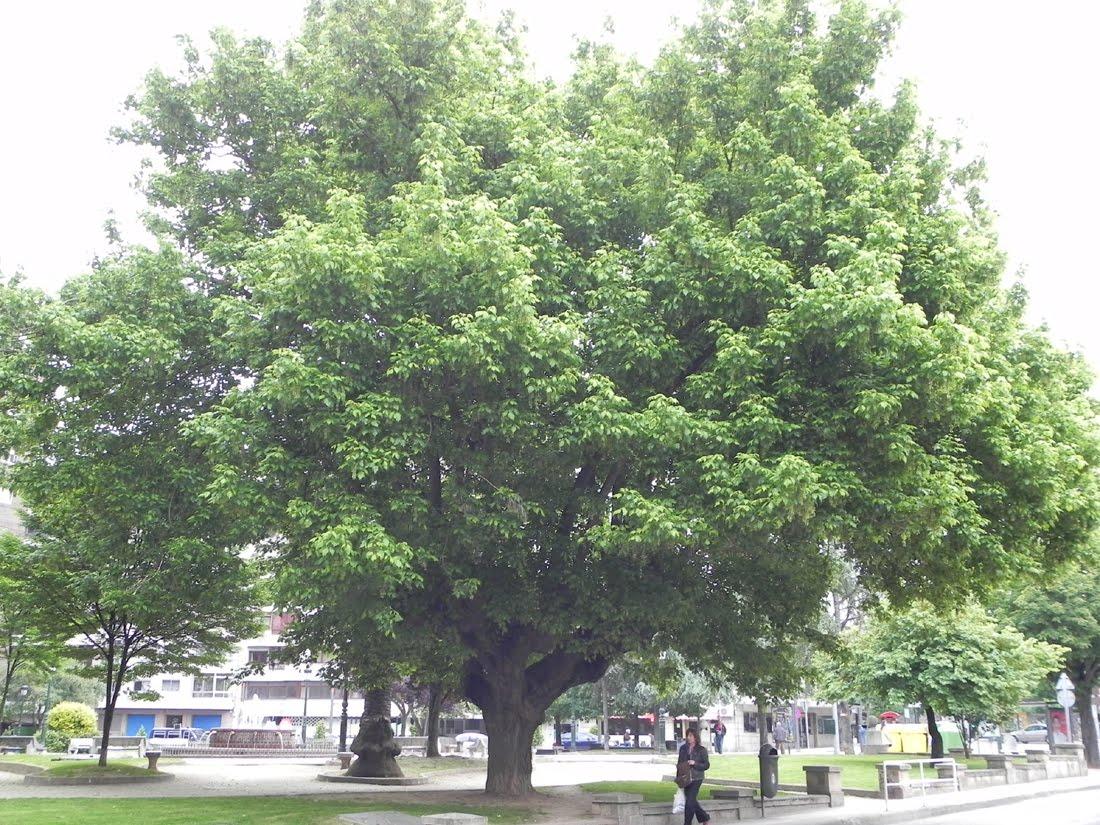 Arce negundo wordpress - Arce arbol variedades ...