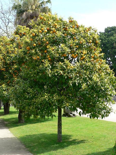 R b o l e s t r e e s citrus aurantium l naranjo for Arboles frutales para el jardin