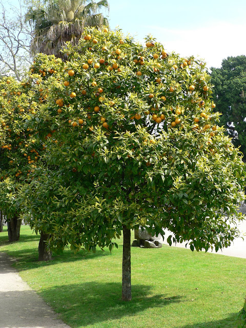 R b o l e s t r e e s citrus aurantium l naranjo for Arboles hoja perenne para jardin