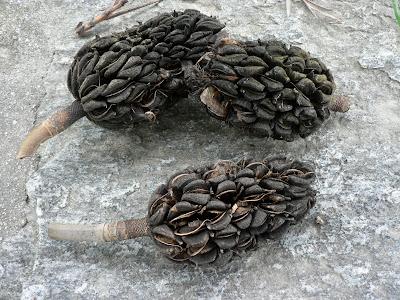R b o l e s t r e e s magnolia grandiflora l - Semilla de magnolia ...