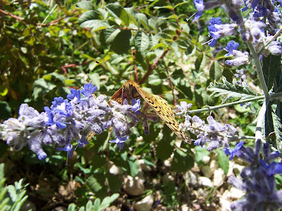 recuperating butterfly on Russian Sage