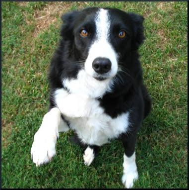 Dog Vestibular Disease Can I Mix Prednisone And Dramamine