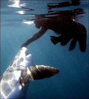 tonic immobility in sharks Tonic immobility, also known as animal hypnosis, is a natural state of paralysis that some animal species enter by differents stimulations and reasons it has been.