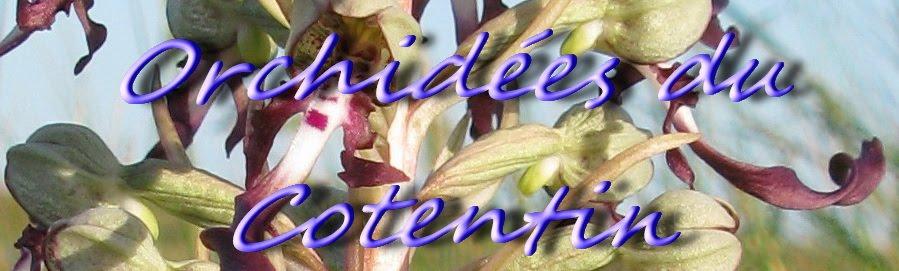 Orchidées du Cotentin