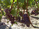 Pinot Noir Grapes at Elk Cove Vineyard