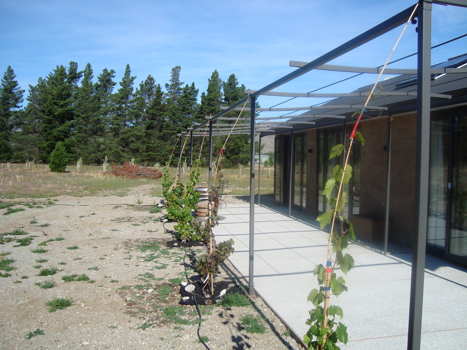 The Field of Gold: Growing Shade. Vines on the Pergola.