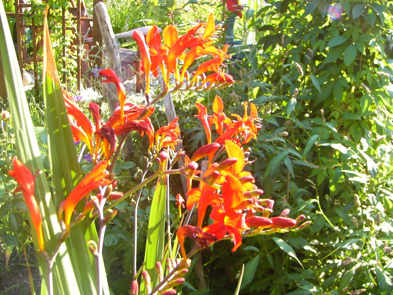 Le paradis floral de caroline crocosmia lucifer - Plante a bulbe liste ...