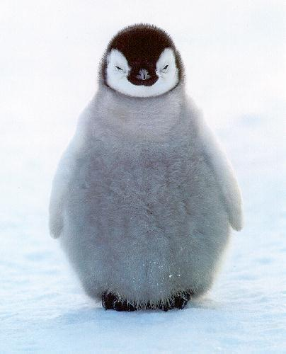 ¤ GoOd neWs ? Just HAPPY ... Come And Tell Us ¤ - Page 3 EmperorPenguin1Little_chick_stands_