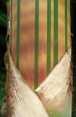 Bambusa vulgaris Vitatta