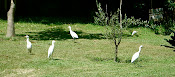 Backyard Egrets