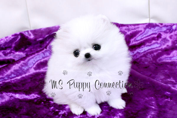 White Pomeranian Puppy Pictures. White+pomeranian+puppy+