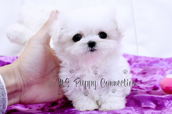 New York Teacup Puppies For Sale: Maltese Puppies New York