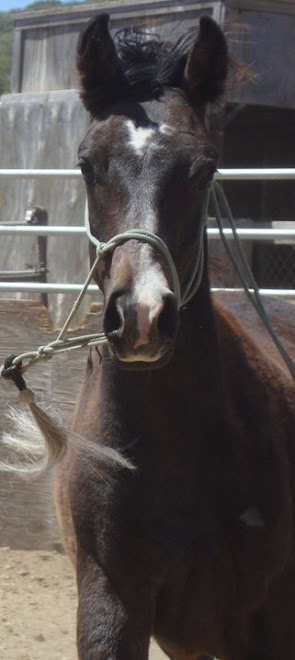 Saxon, a yearling colt