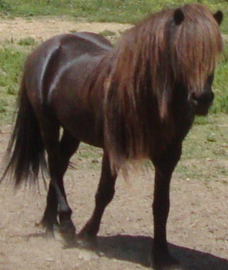 Icelandic Stallion