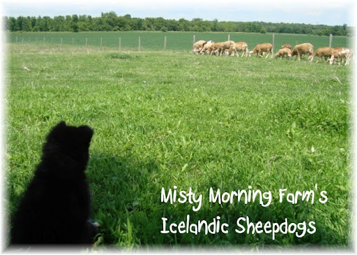 IcelandicSheepdogPuppies
