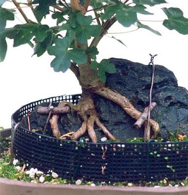 reiners bonsai blog felsenpflanzung feldahorn teil 1. Black Bedroom Furniture Sets. Home Design Ideas
