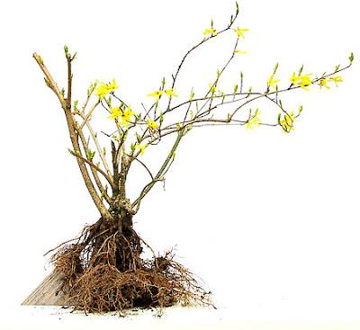 reiners bonsai blog felsenpflanzung forsythie teil 1. Black Bedroom Furniture Sets. Home Design Ideas