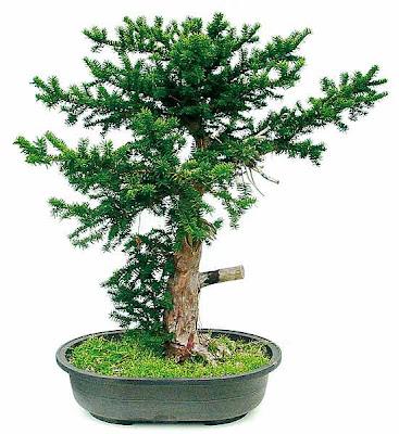 reiners bonsai blog die eibe als bonsai teil 2. Black Bedroom Furniture Sets. Home Design Ideas