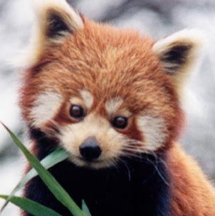 Омилена животиња Red+Panda