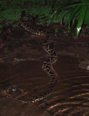 Fer-de-lance snake about to eat a rat!