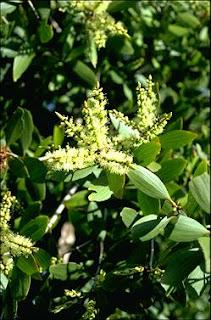 Sutra Aromaterapi Cajeputi Leaf Daun Gelam