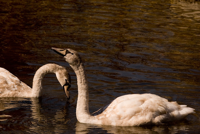 mute swan babies having reached the youth stage