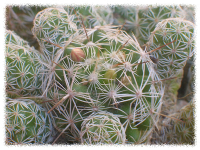 Cactus y crasas futuras floraciones y evoluci n de lithops - Como transplantar cactus ...