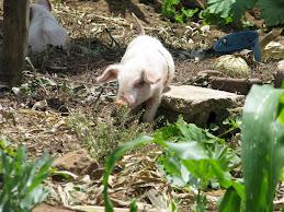 A Gutemalan PIG