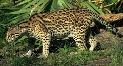 Leopardo via de extincion