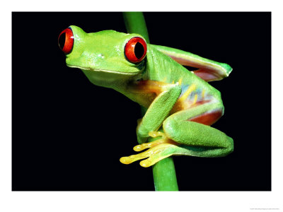 tree frog pictures. Red Eye Tree Frog Images. tree