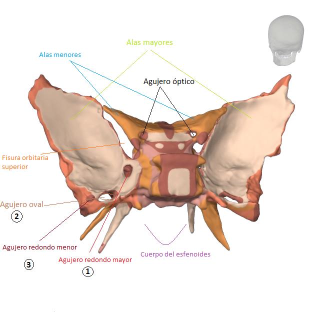 Huesos del Cráneo: Hueso esfenoides