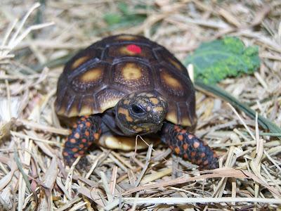 Kết quả hình ảnh cho red foot tortoise - rùa chân đỏ