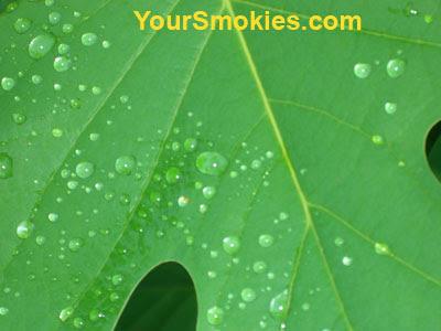 Smokies plant life