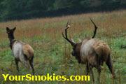 Bull elk chasing elk cow