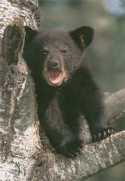 Appalachian Bear Rescue Hosts 2010 Black Bear Expo at the Townsend Visitor Center