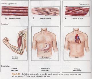 Muskulosskeletal