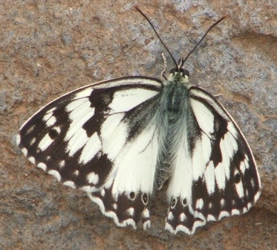 black and white butterfly pictures. Black And White Butterfly And