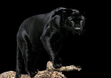 black puma hunting