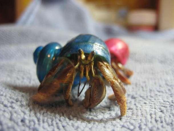 Hermit crab - photo#24