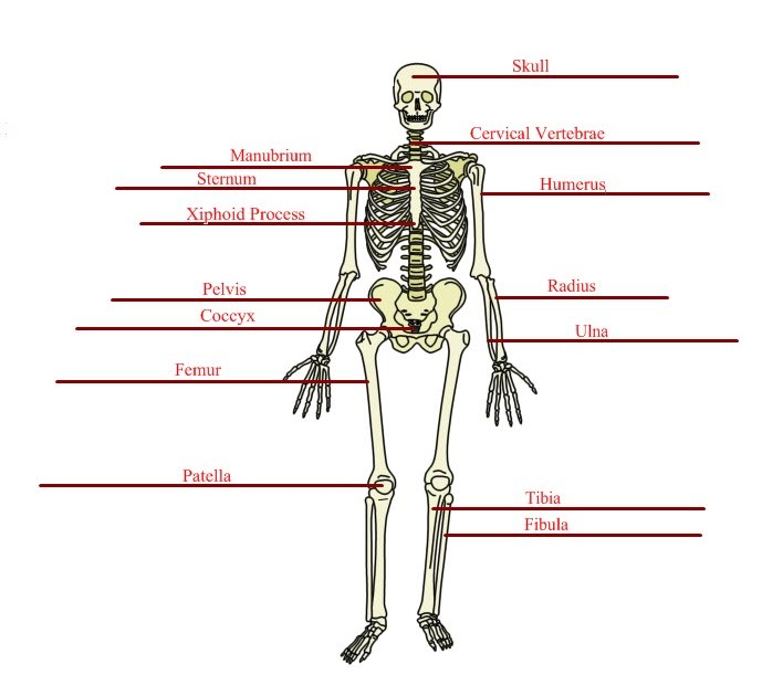 Anatomy/Physiology Assignments: Basic Skeletal Anatomy Worksheet