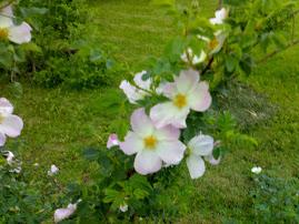 Ruusuystävän puutarhaa
