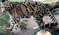 Macan Dahan (Neofelis nebulosa)