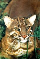 Kucing Emas (Catopuma temmincki)