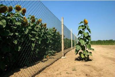 sunflower god