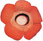 Rafflesia arnoldy