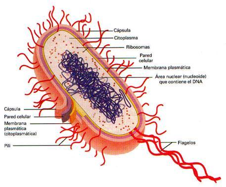 Procariotas: Bacterias, Micoplasmas y Algas Cianofilas.