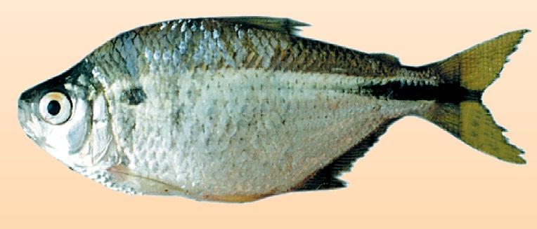 peces del paraná