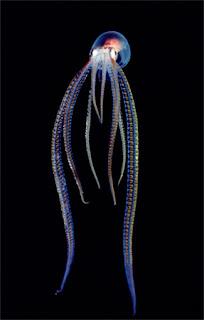 translucente pelagic octopus
