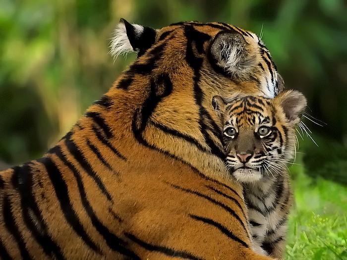 Image Result For Baby Sumatran Tiger Videos In The Wilda